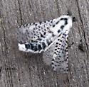 Zeuzera pyrina - Wood Leopard Moth - Hodges#2700 - Zeuzera pyrina