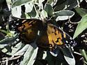 Unknown Butterfly ? - Vanessa virginiensis
