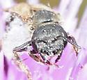 Sweat Bees Halictus ligatus - Halictus (Odontalictus) ligatus - Halictus ligatus