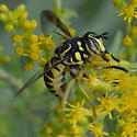 Fly - Spilomyia longicornis