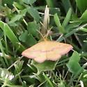 Orangish Pink butterfly - Haematopis grataria