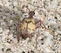 Beetle - Pleuropasta mirabilis