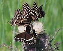 Papilio palamedes? - Papilio palamedes