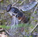 Male horse fly? - Stonemyia rasa - male