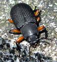 Beetle - Haplandrus fulvipes