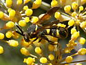A wasp? to ID perhaps. - Leucospis affinis - female