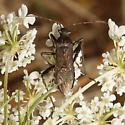 Alydus species? - Alydus calcaratus