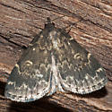 Unknown Moth - Idia lubricalis