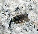 Barklouse nymph - Stimulopalpus japonicus