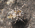Yellow and black orb-weaver - Aculepeira carbonarioides - male - female