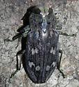 11mm green-faced Chrysobothris - Chrysobothris caddo