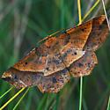 Mottled Euchlaena - Euchlaena tigrinaria