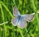 Meadow moth - Plebejus saepiolus