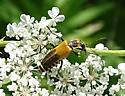 Brown/Mustard Colored - Chauliognathus pensylvanicus