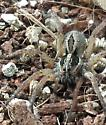 Female Wolf Spider--Oconee County South Carolina - Tigrosa annexa - female