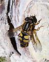 Sunfly - Helophilus fasciatus