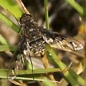 fly - Anthrax albofasciatus