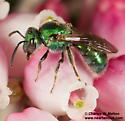 Augochlorella? - Augochlorella neglectula - female