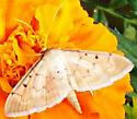Mum moth - Two spotted herpetogramma ? - Herpetogramma bipunctalis