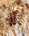 Ant - Aphaenogaster tennesseensis - female