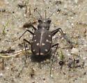 Brown tiger beetle on sand - Cicindela duodecimguttata