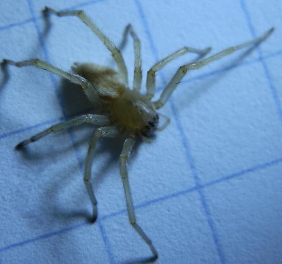 yellow sac spider - Cheiracanthium mildei - female