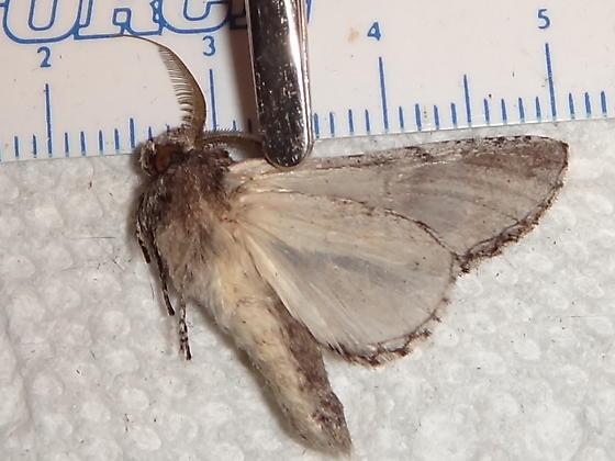 Unknown Moth Species - Heterocampa averna