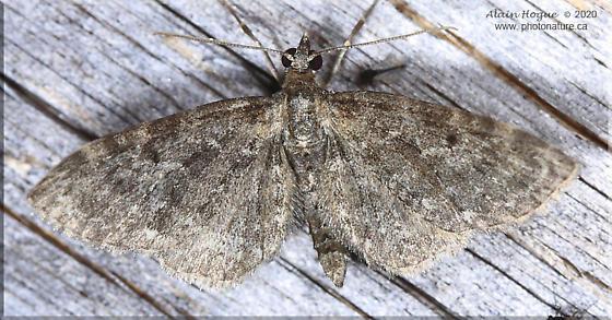 Geometridae - Eupithecia