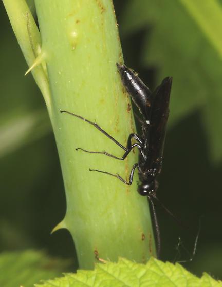 Rose Shoot Sawfly - Hartigia trimaculata - female