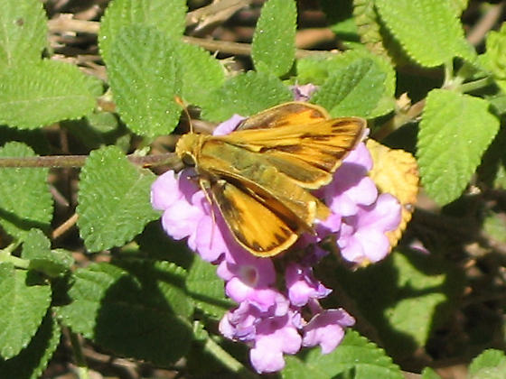 Skipper ID? - Hylephila phyleus