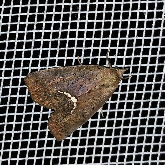 Hypsoropha hormos