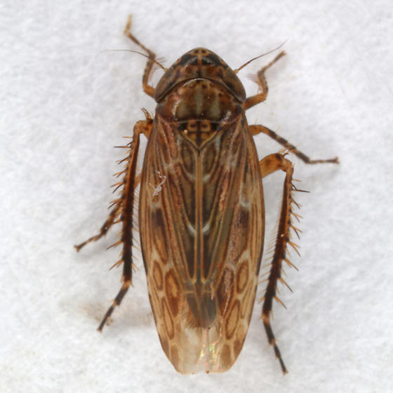 unknown cicadellid