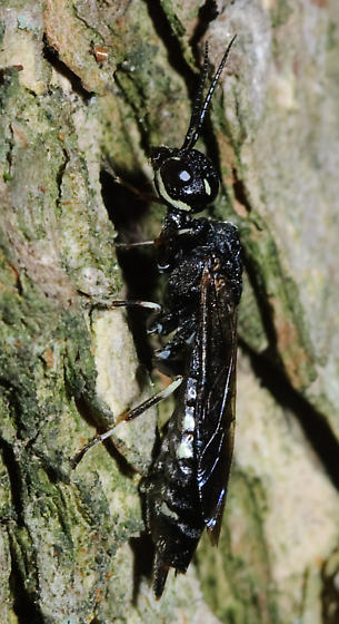 Small horntail-like wasp - Xiphydria tibialis