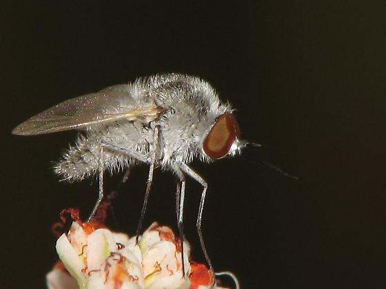 ? Robber Fly ? - Geron
