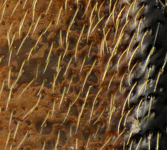 Cosmosalia nigrolineata, detail of female's recurved pubescence - Lepturobosca nigrolineata - female