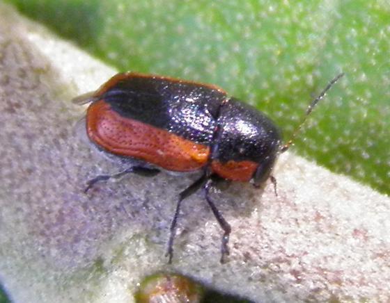 Cryptocephalini - Pachybrachis marginatus