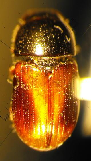Scarab 1 - Phaeaphodius rectus