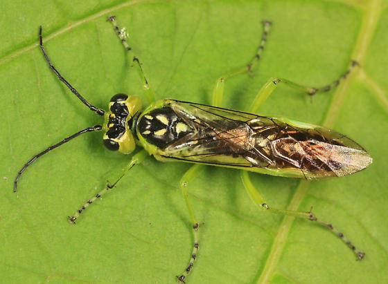 sawfly - Rhogogaster californica