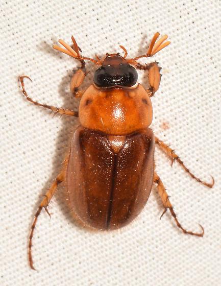 beetle062518c - Cyclocephala