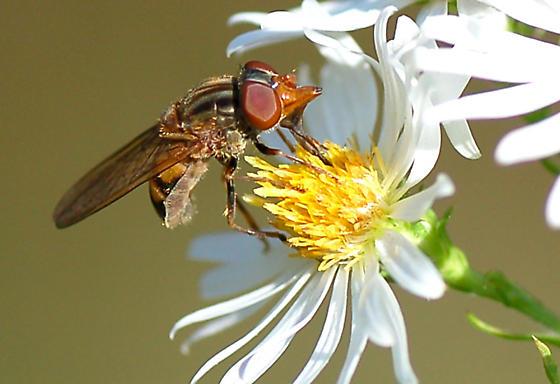 Fly - Rhingia nasica