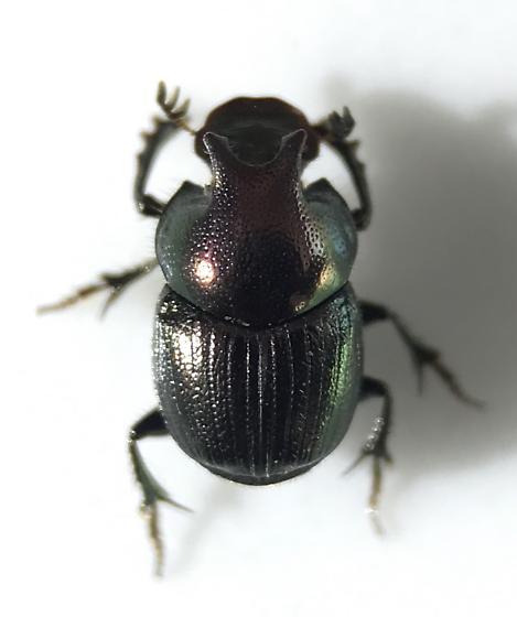Onthophagus orpheus - male