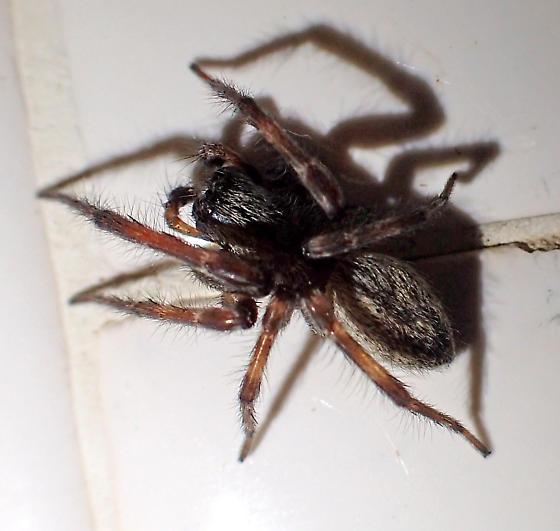 Badumna male - Badumna longinqua - male