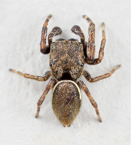 BG2269 E0016 - Zygoballus nervosus - male