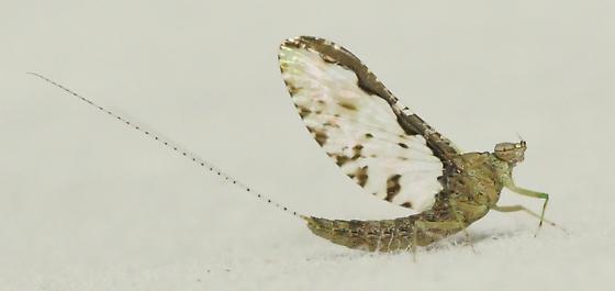 Fairy bug3 - Callibaetis pretiosus