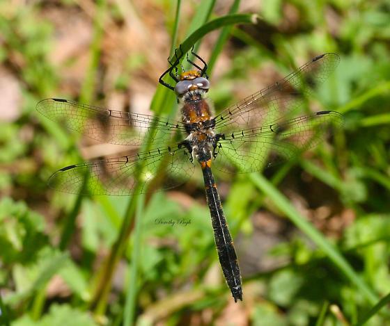 Common Baskettail? - Helocordulia selysii - male