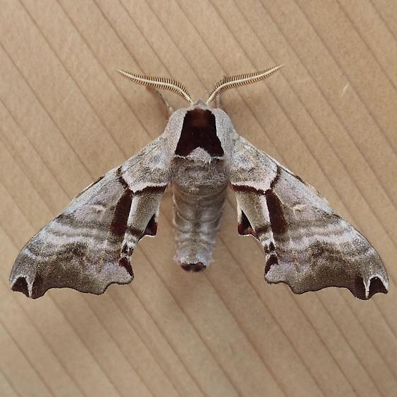 Sphingidae: Smerinthus jamaicensis - Smerinthus jamaicensis