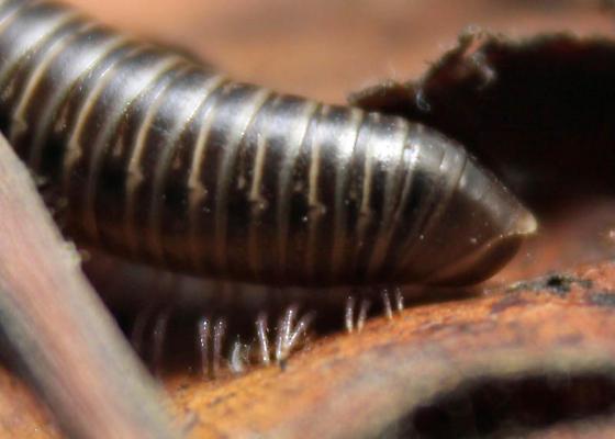Oregon Julida - Bollmaniulus