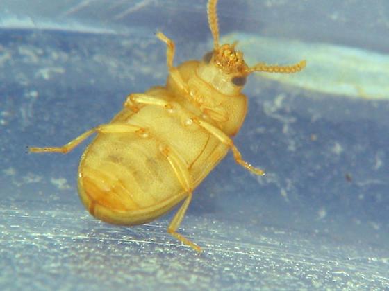 Here's who: - Neomida bicornis - male