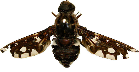 Tiger Bee Fly - Xenox tigrinus