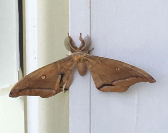 geometer moth? - Antheraea polyphemus - male